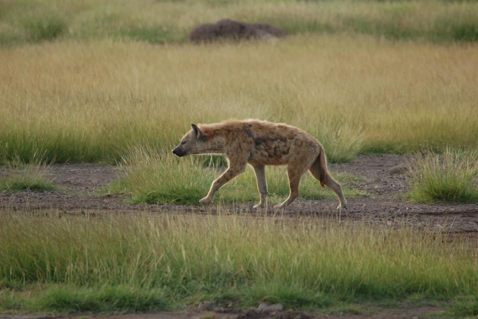 Hyena  by Joachim Huber