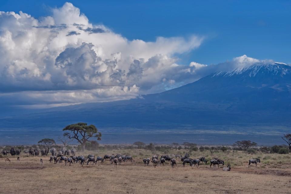 Kilimanjaro wildebeest-2  by Diana Robinson