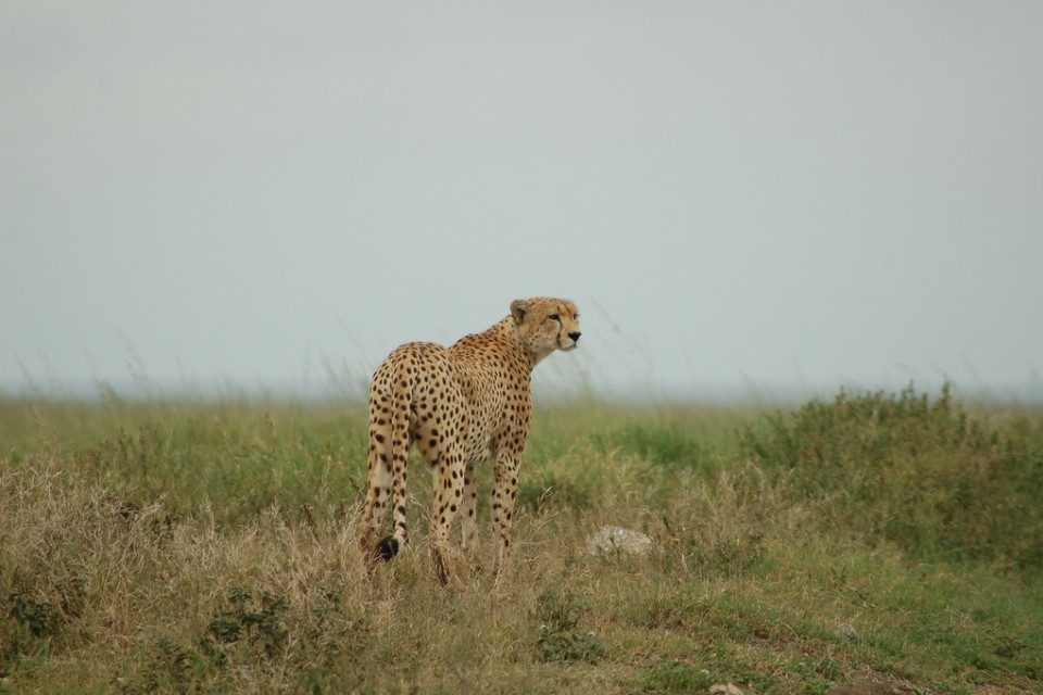 Serengeti cheetah  by Joachim Huber