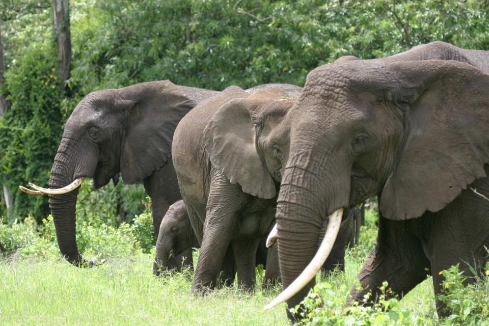 Ngorongoro elephants  by Andrew Ross