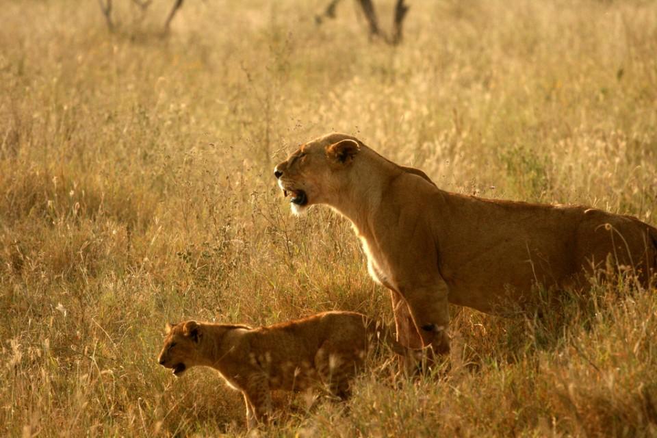 Serengeti lions  by Abir Anwar