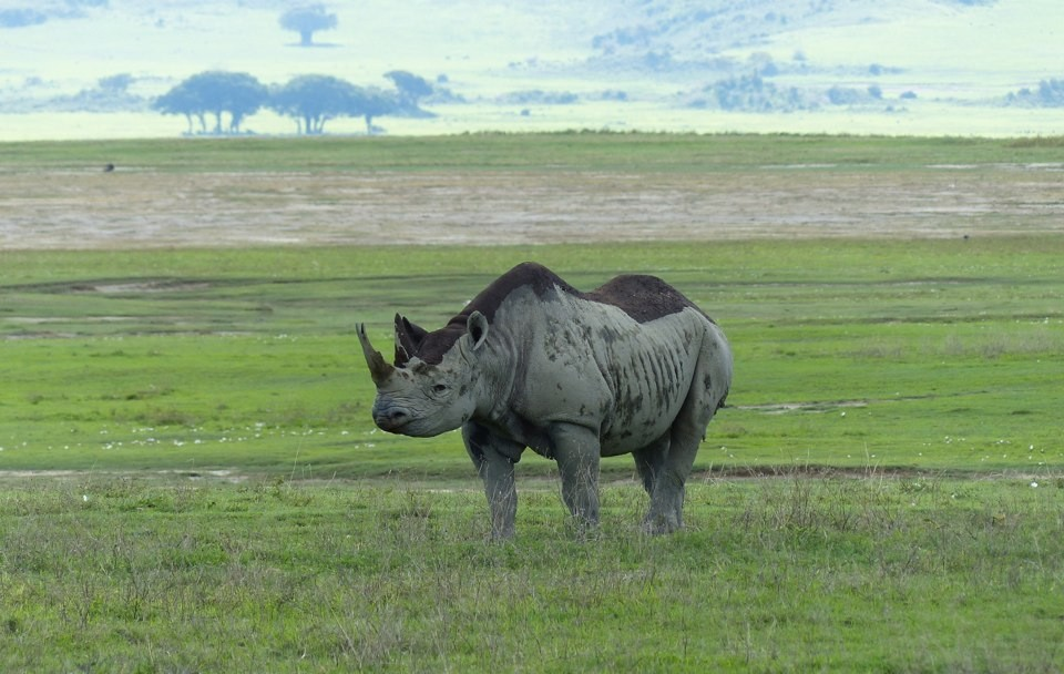 Black rhino in Ngorongoro Crater  by Roman Boed