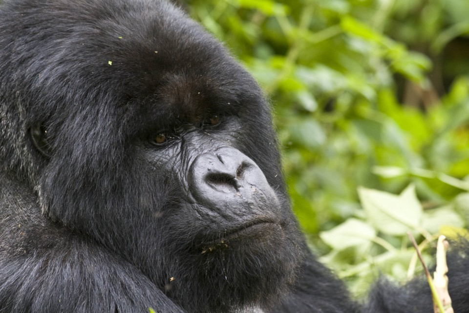 Uganda Gorilla Trek  by Hjalmar Gislason