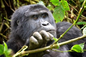 Mountain Gorilla in Bwindi by Rod Waddington