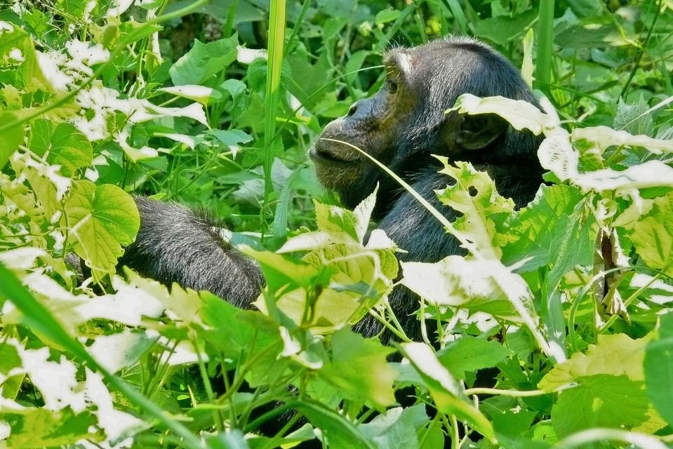 Kibale chimp  by Bernard DUPONT