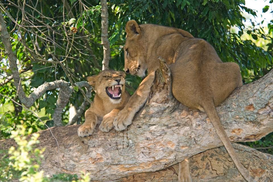 Queen Elizabeth National Park lion