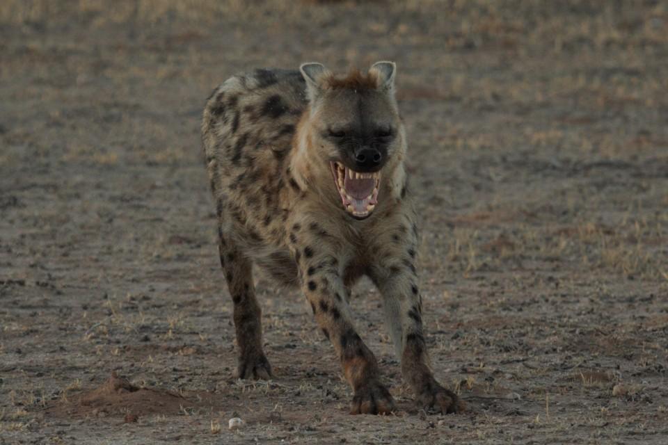 Liuwa hyena