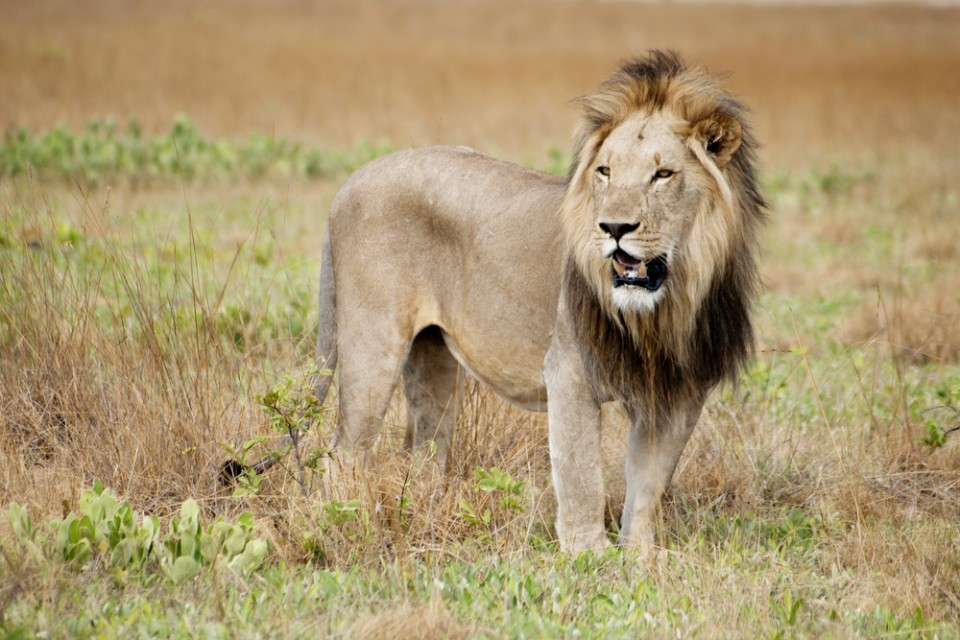 Liuwa lion