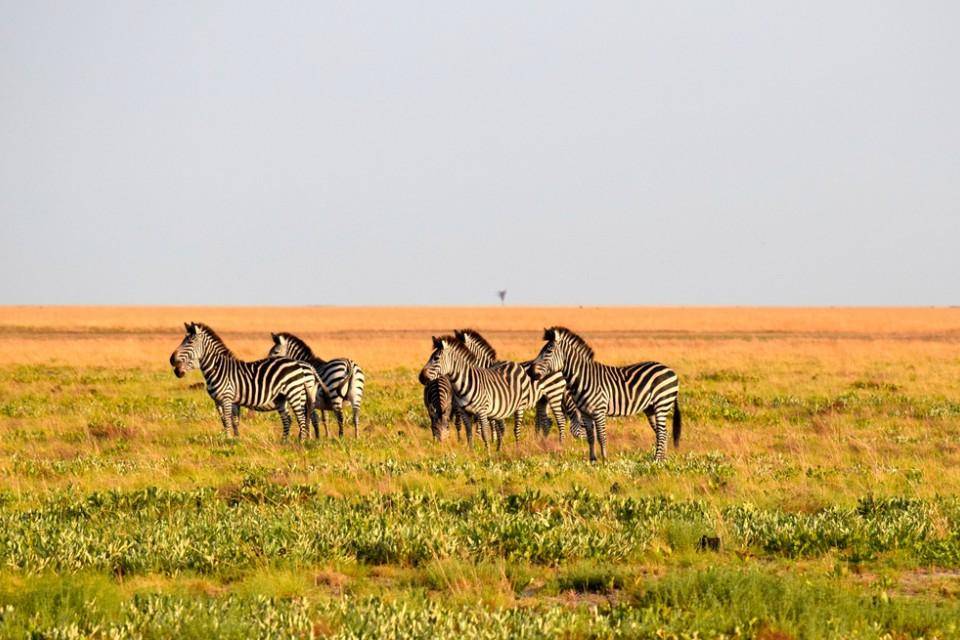 Liuwa zebras