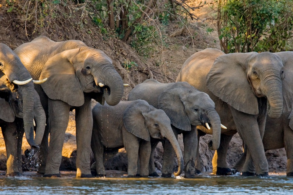 Lower Zambezi elephants