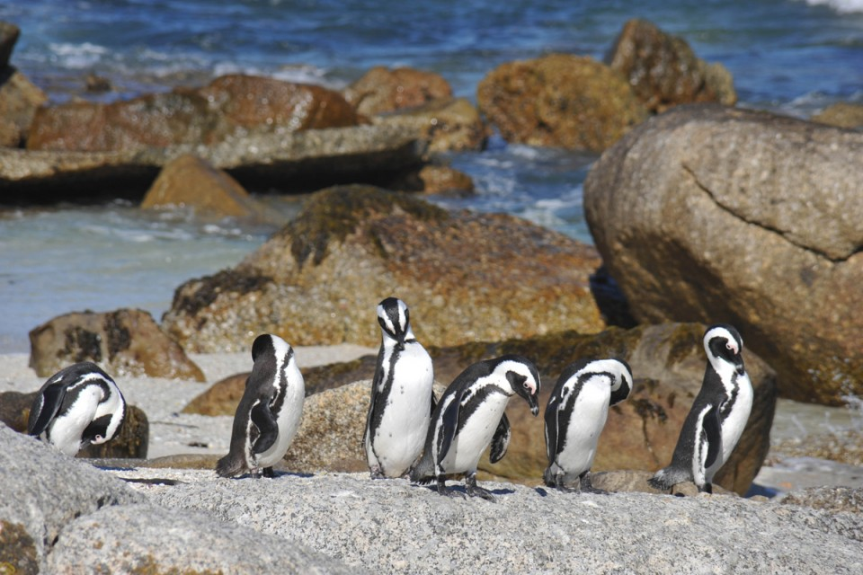 Boulders penguins