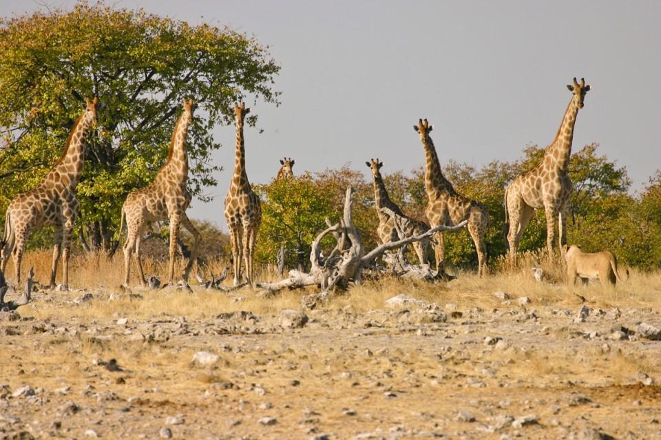 Etosha giraffes lion