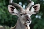 Kudu in Kruger Park
