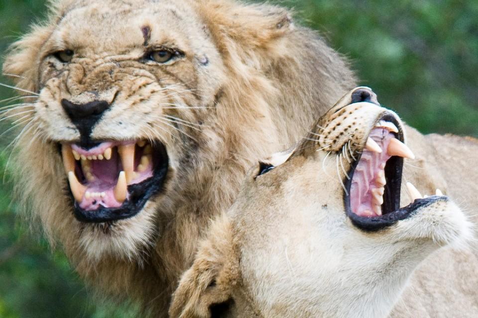 Kruger Park lions  by Chris Eason
