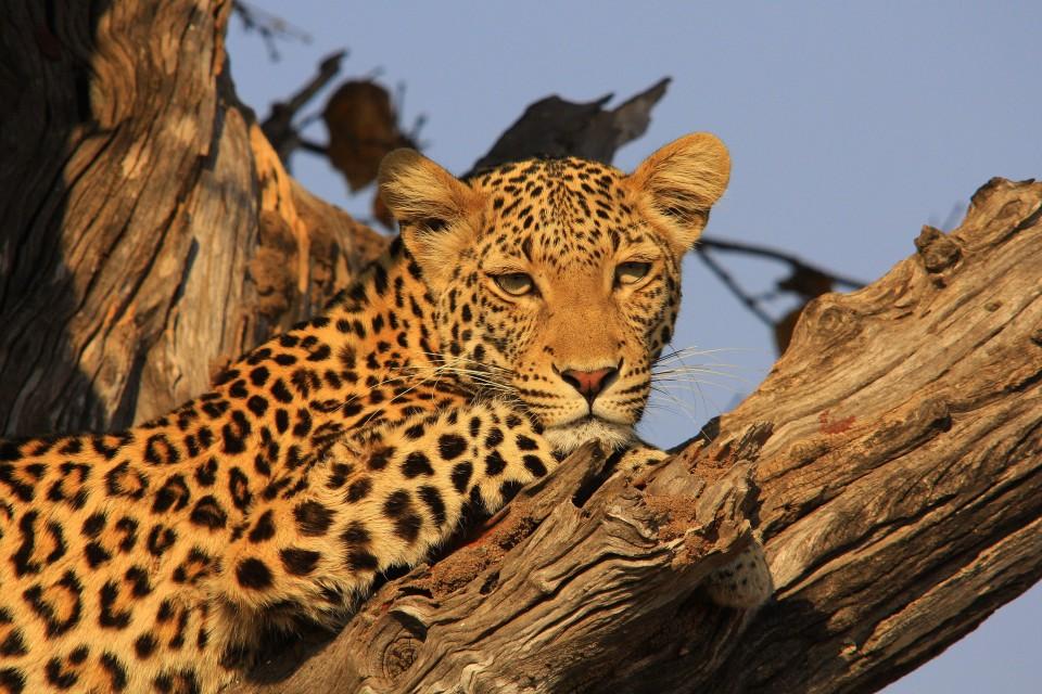 Chobe leopard