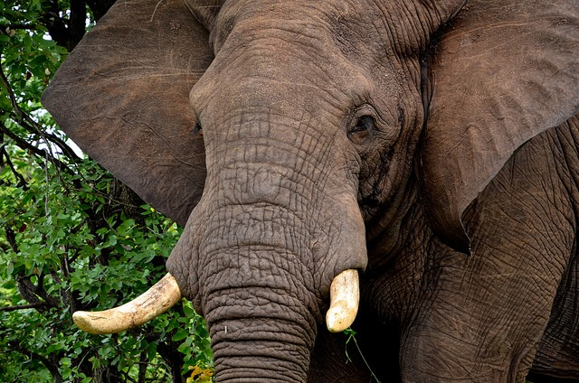 Kruger elephant  by elevenItaly