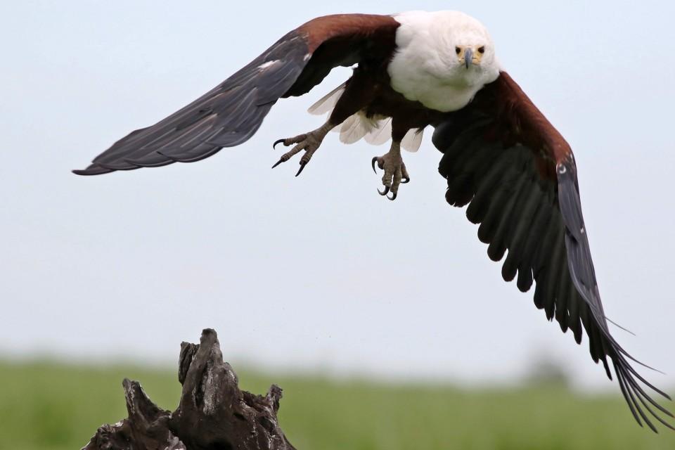 African fish eagle  by Derek Keats