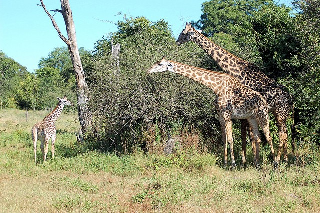 South Luangwa giraffes  by Joachim Huber