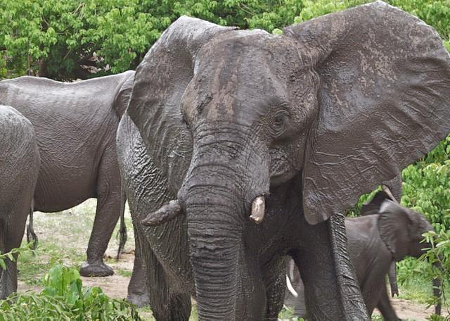 Chobe elephants  by Kristin Wall