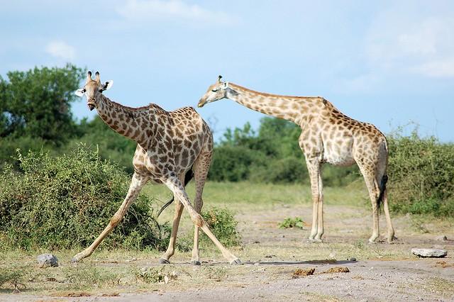 Chobe giraffes  by Joachim Huber