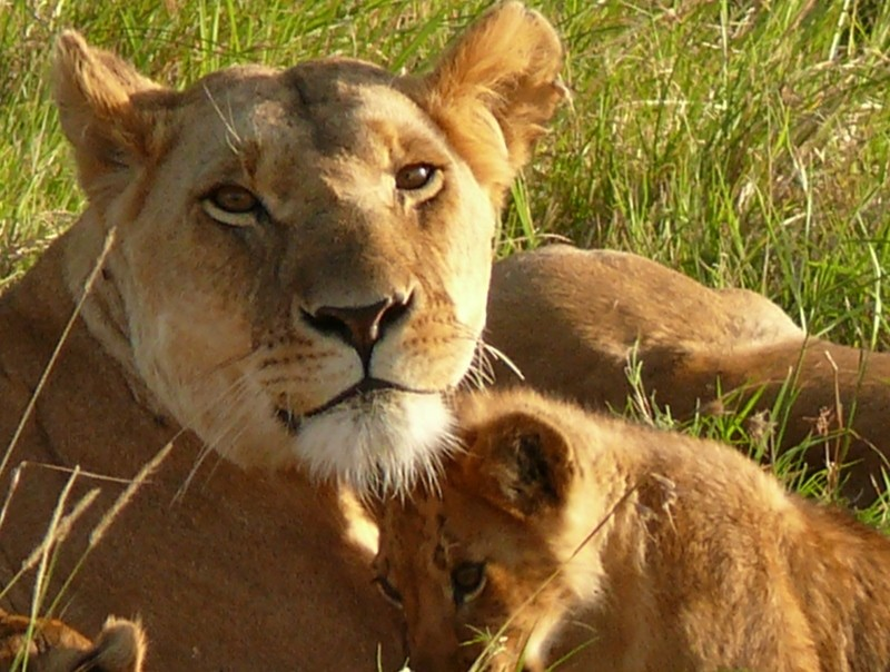 Lions in Mara  by Mara 1