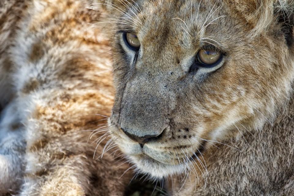 Masa Mara lion cub  by Stuart Richards