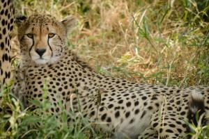 Serengeti cheetah by Henrik Palm