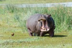 Delta hippo