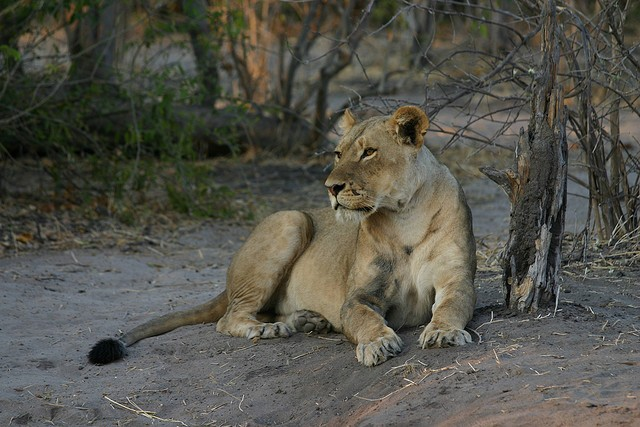 Chobe lion  by Erwin T