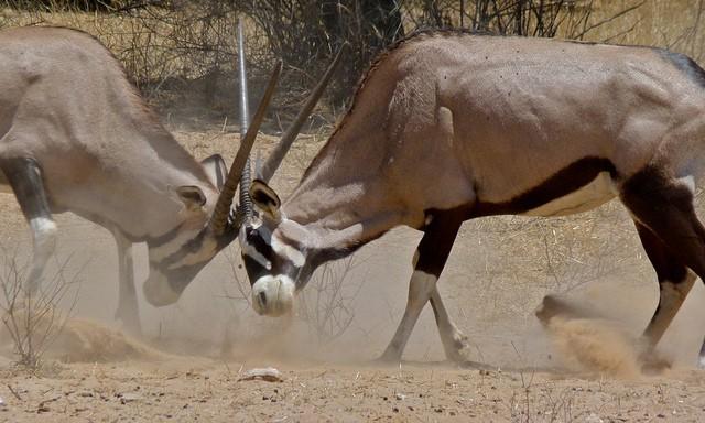 Etosha gemsbok  by Bernard DUPONT