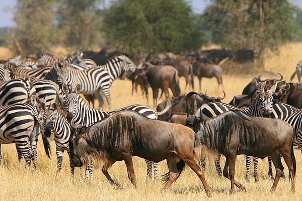 Serengeti Migration  by Marc Veraart