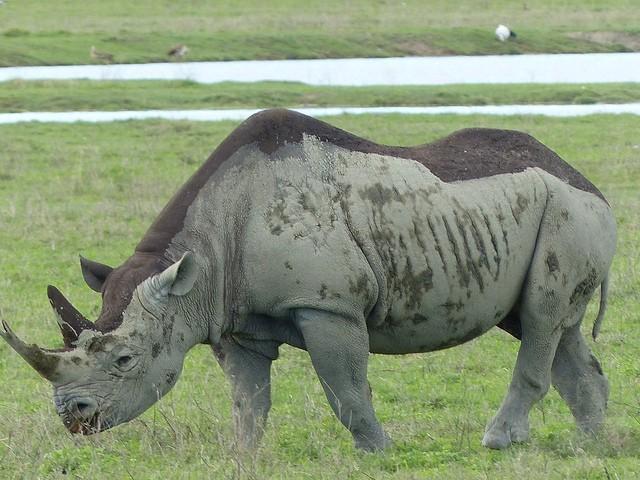 Ngorongoro rhino  by Roman Boed