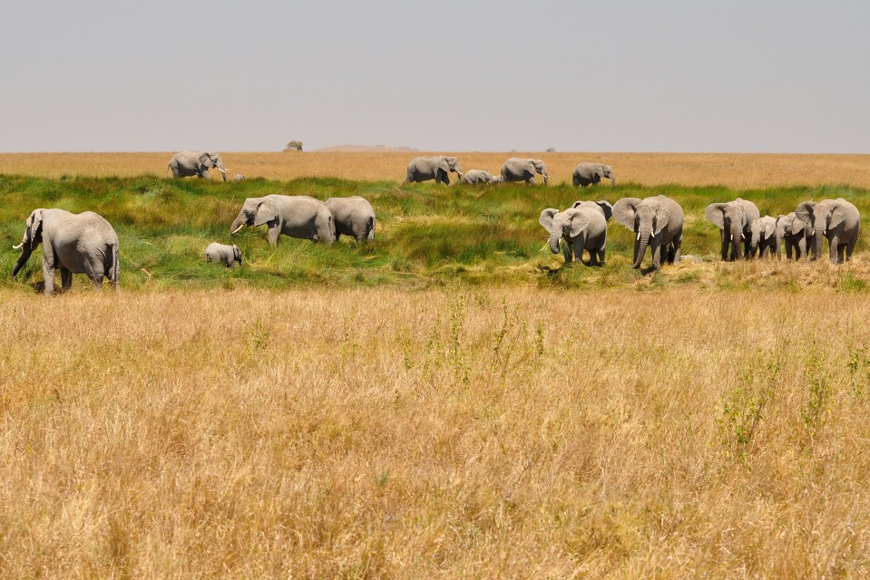 Elephants in Serengeti  by gabi