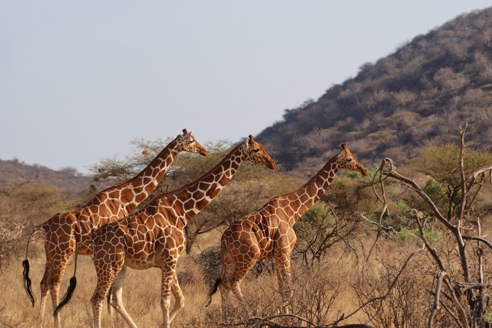 Reticulated giraffes  by Julian Mason