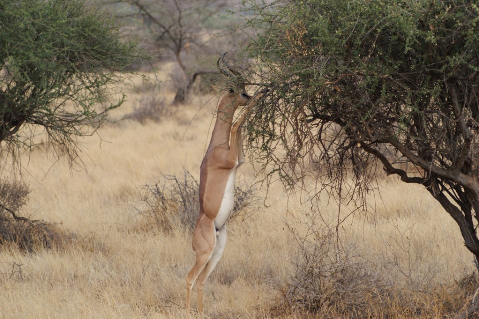 Gerenuk in Samburu  by Julian Mason