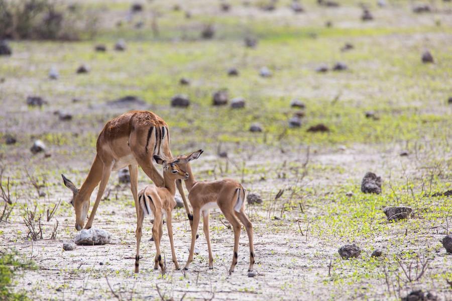Chobe impalas