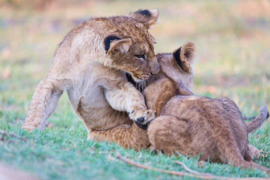 Moremi lion cubs