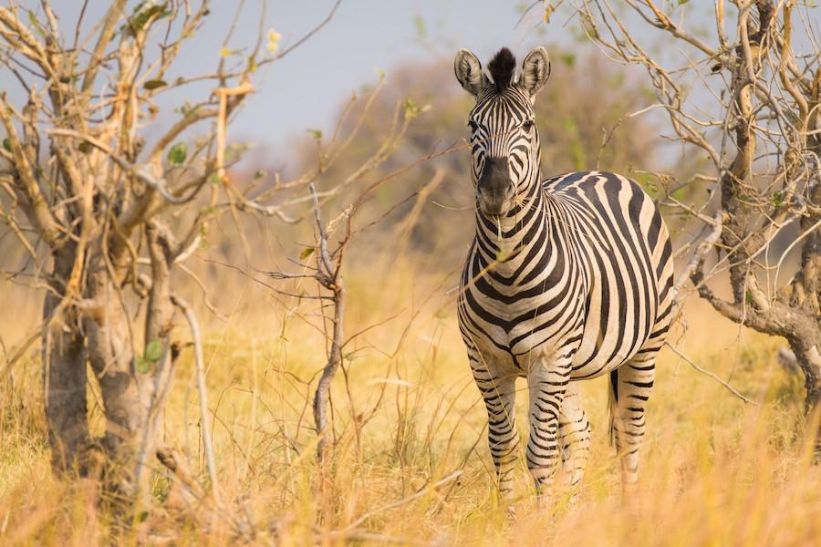 Moremi Khwai zebra