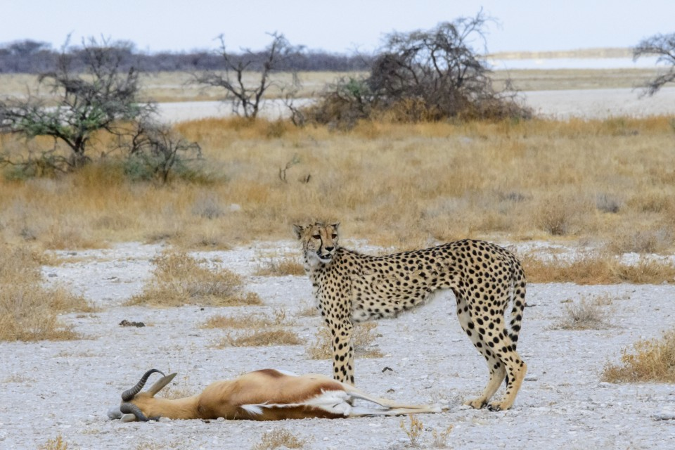 Cheetah and kill  by dconvertini