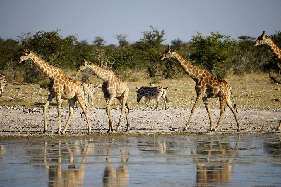 Giraffes and zebras in Etosha  by Heribert Bechen