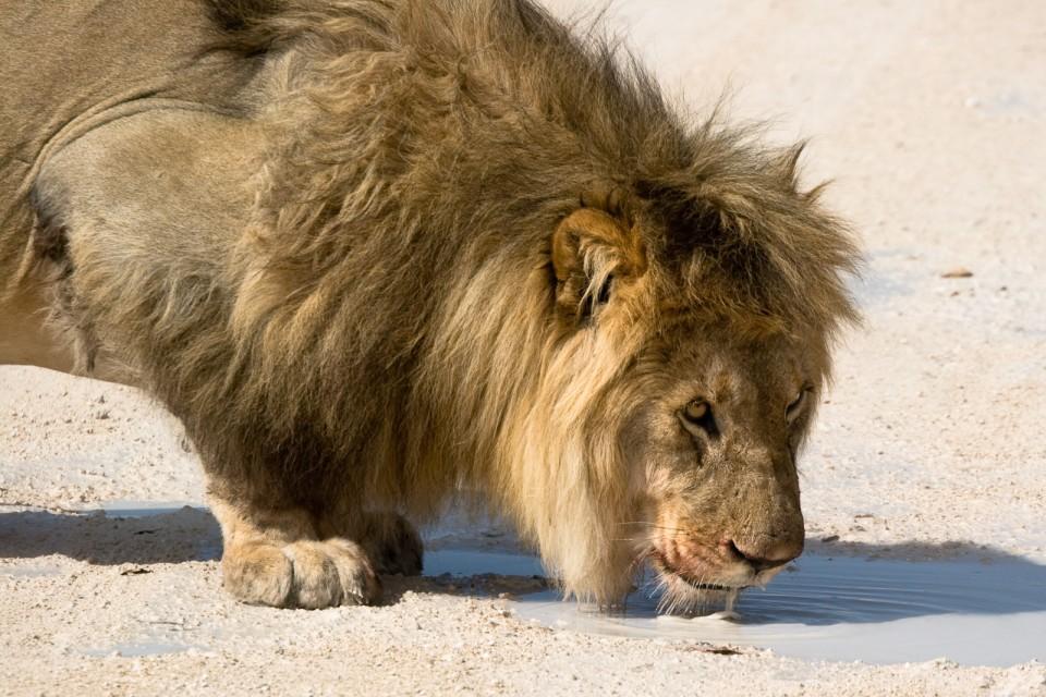 Etosha lion  by Greg Willis