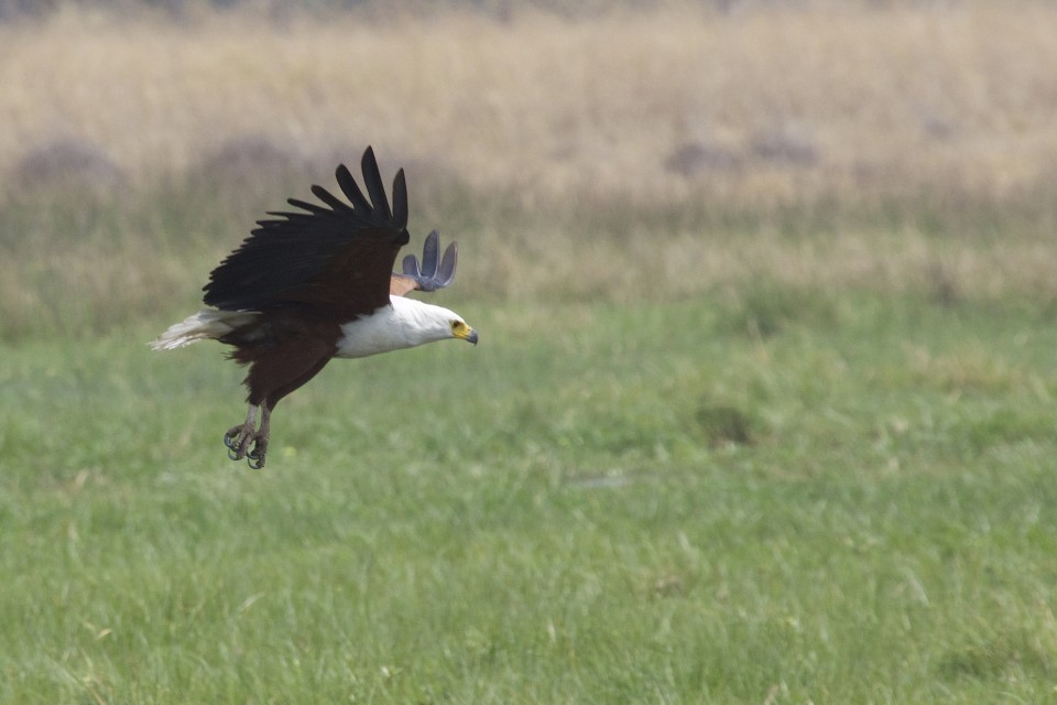 "African Fish Eagle  by Gregory ""Slobirdr"" Smith"
