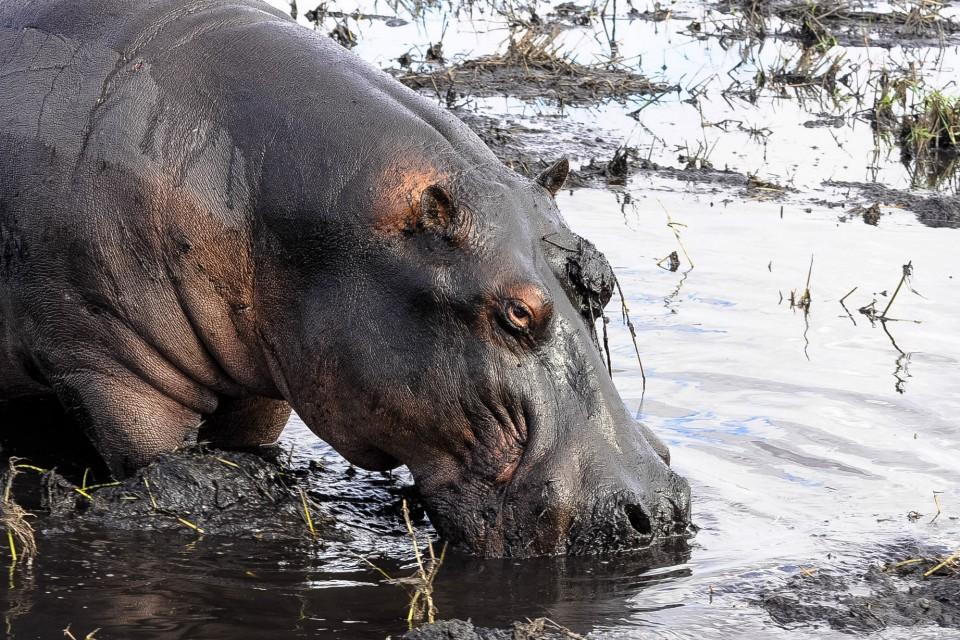 Chobe hippo   by Letizia Barbi