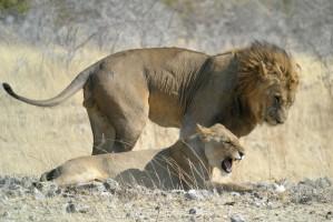 Mating lions in Etosha by Frank Vassen