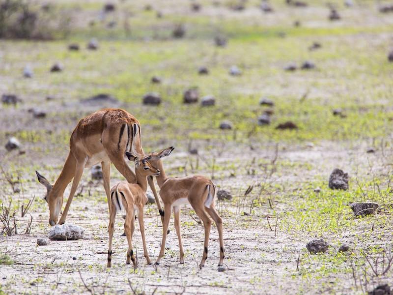Springbok in Chobe