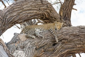 Leopard in Chobe