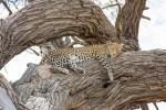 Leopard in Chobe
