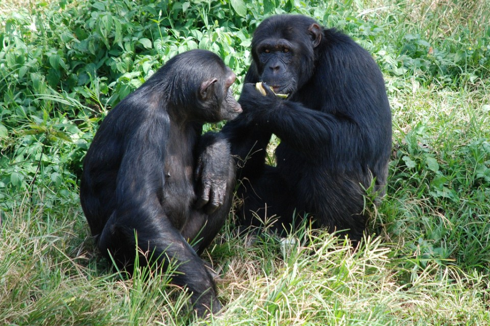 Ngama Island chimpanzees  by sharon mckellar
