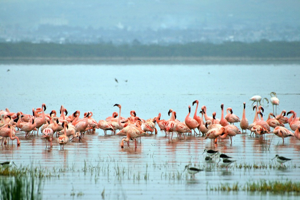 Lake Nakuru flamingoes  by Davida De La Harpe