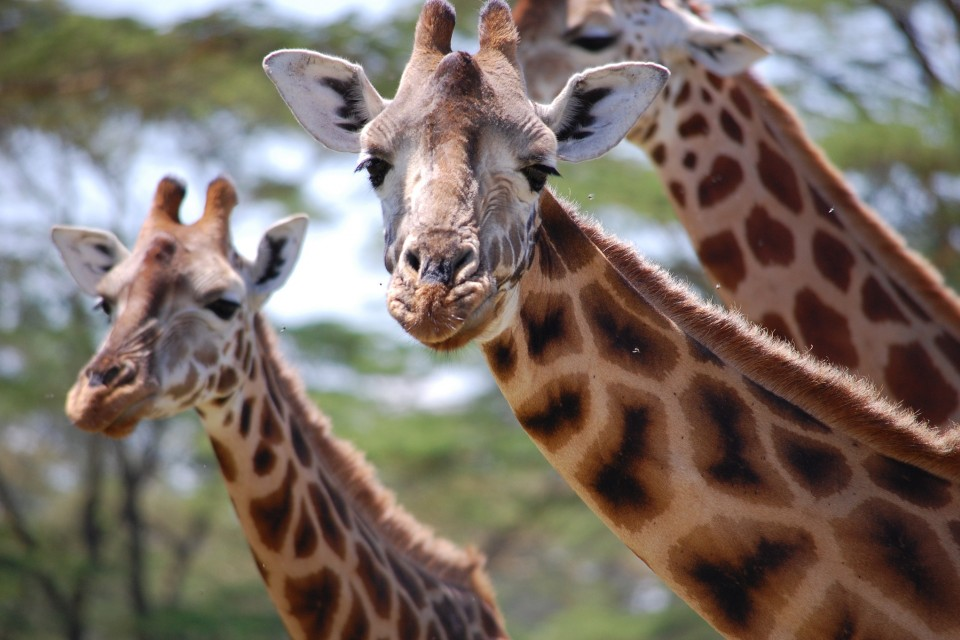 Lake Nakuru giraffe  by Katie Hunt